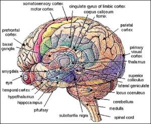 brainps